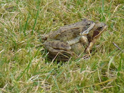 02 Mating toad