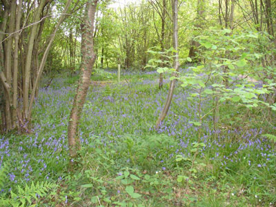 06 Bluebell Wood