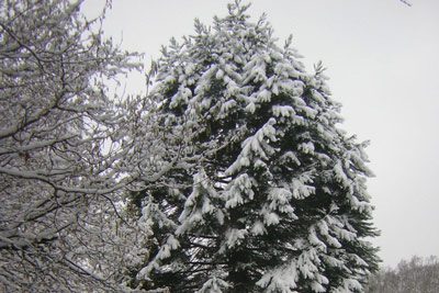27 snow covered conifer